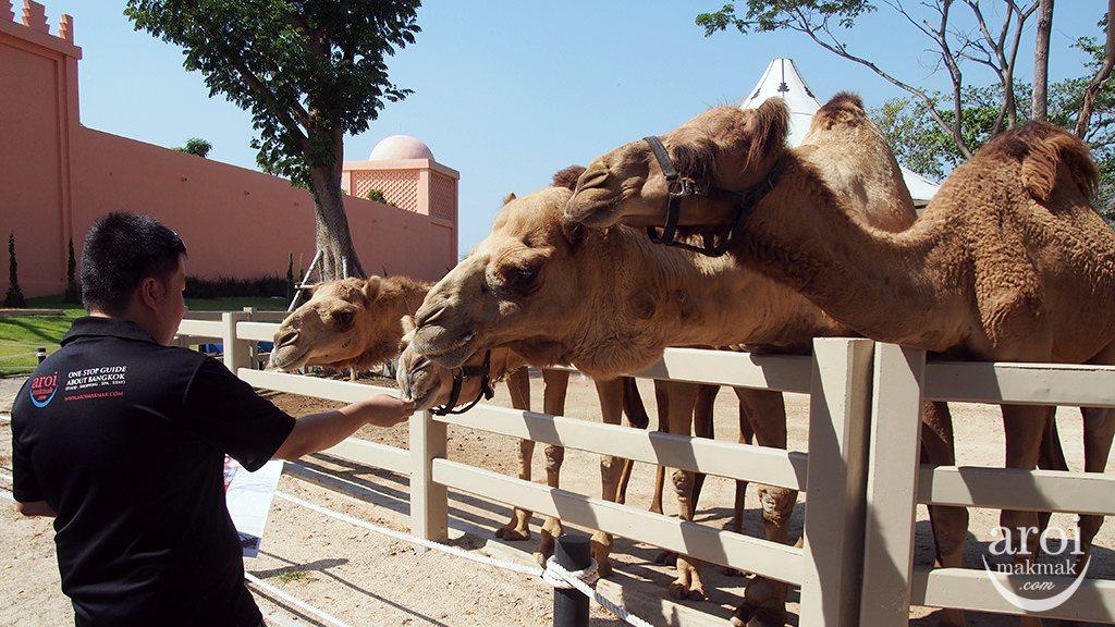camelrepublic-feedcamels