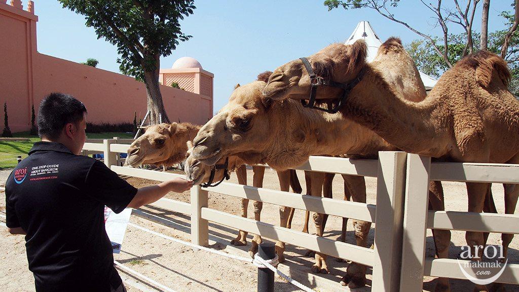 camelrepublic-feedingcamel
