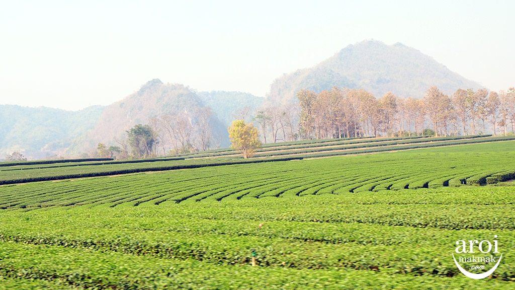 singhaparkchiangrai-field1