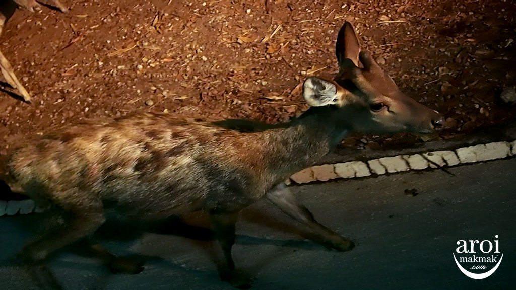 chiangmainightsafari-deer