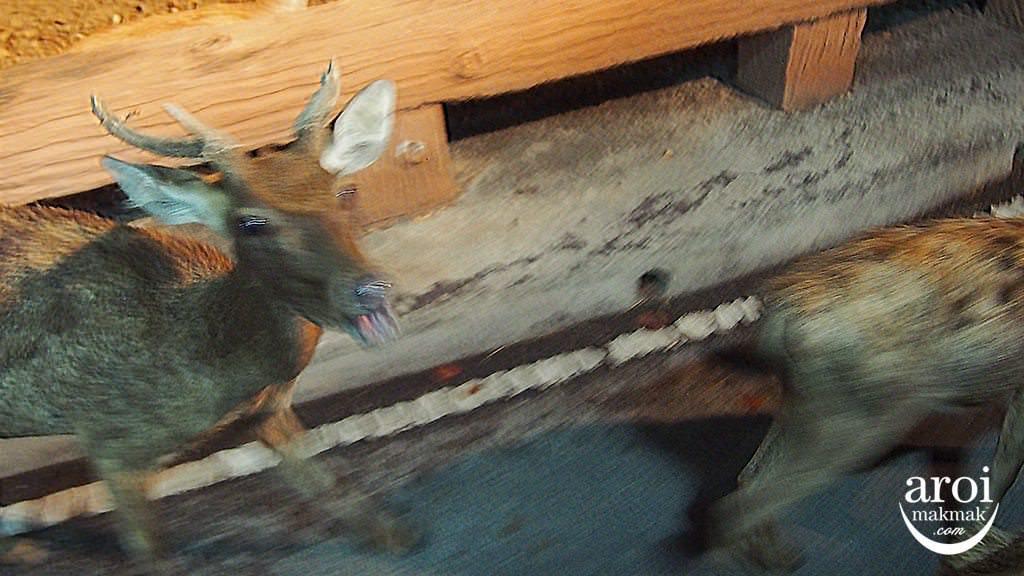 chiangmainightsafari-deerfeeding
