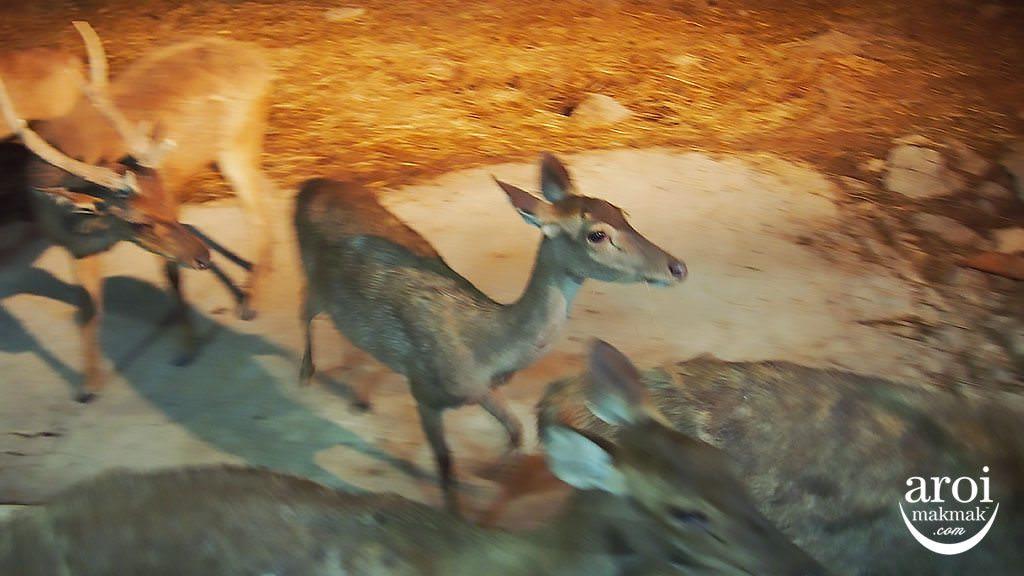 chiangmainightsafari-deers