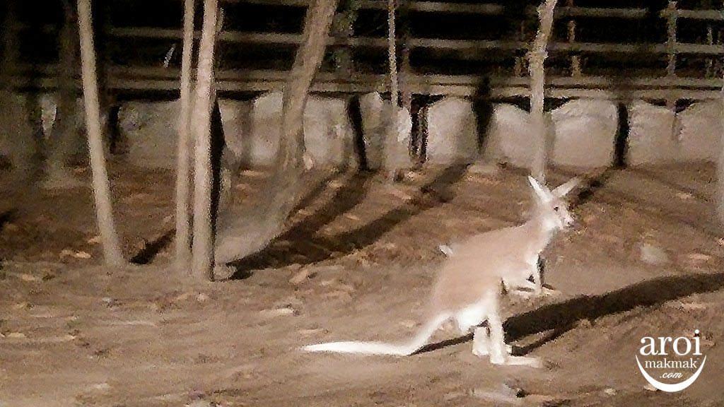 chiangmainightsafari-kangaroo