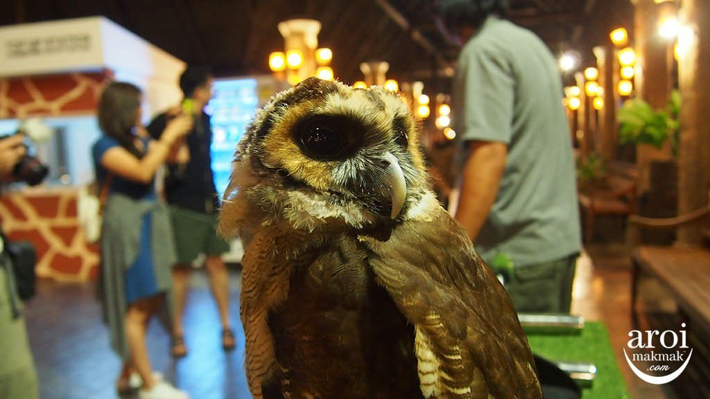 chiangmainightsafari-owl