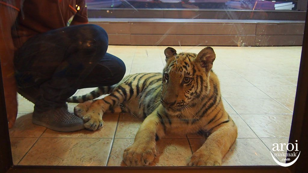 chiangmainightsafari-tiger