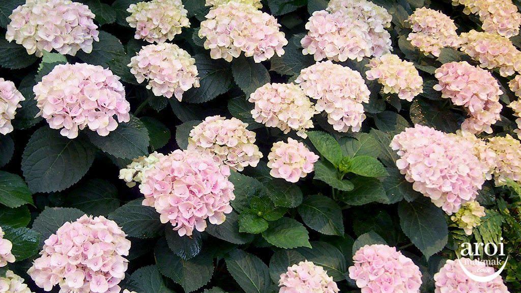 khaomaokhaofang-flowers