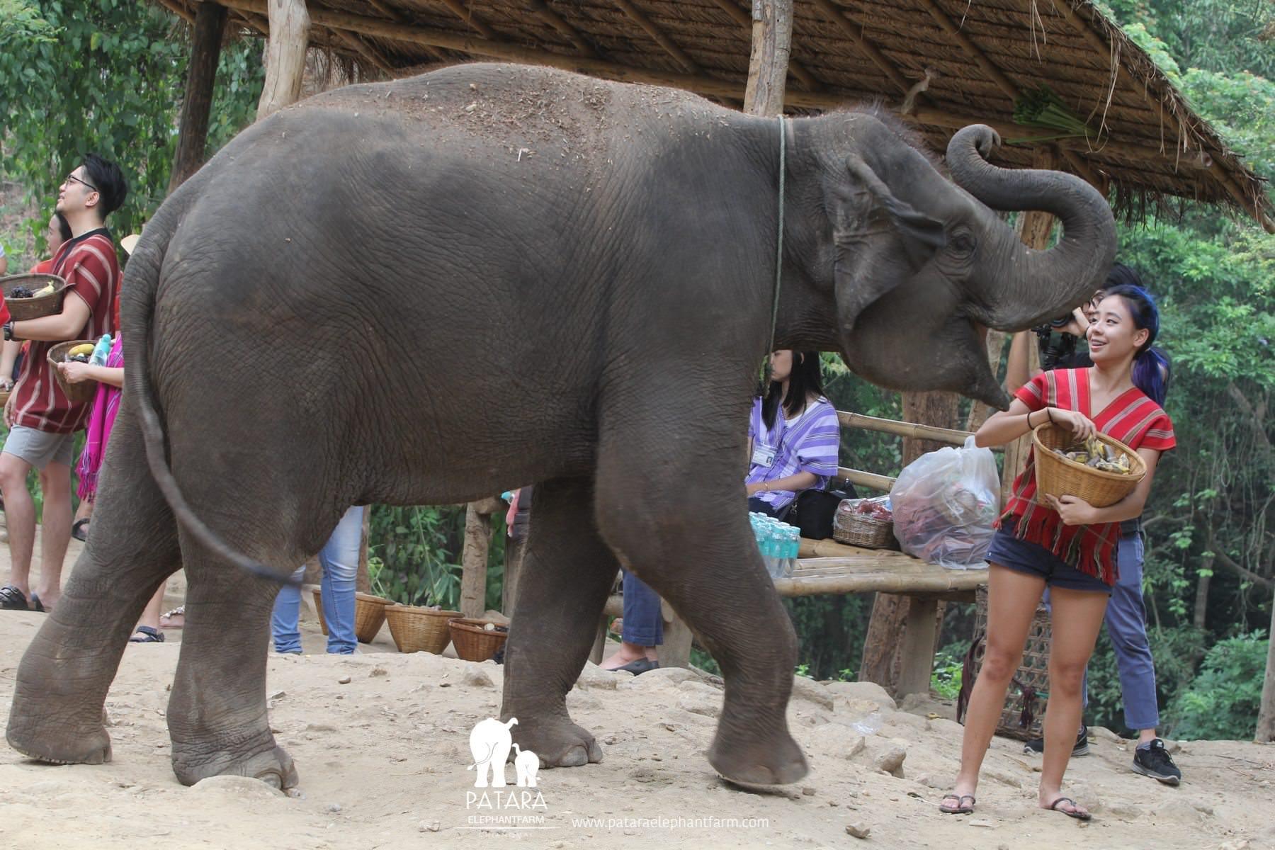 PataraElephantFarm-ChiangMai-Feeding