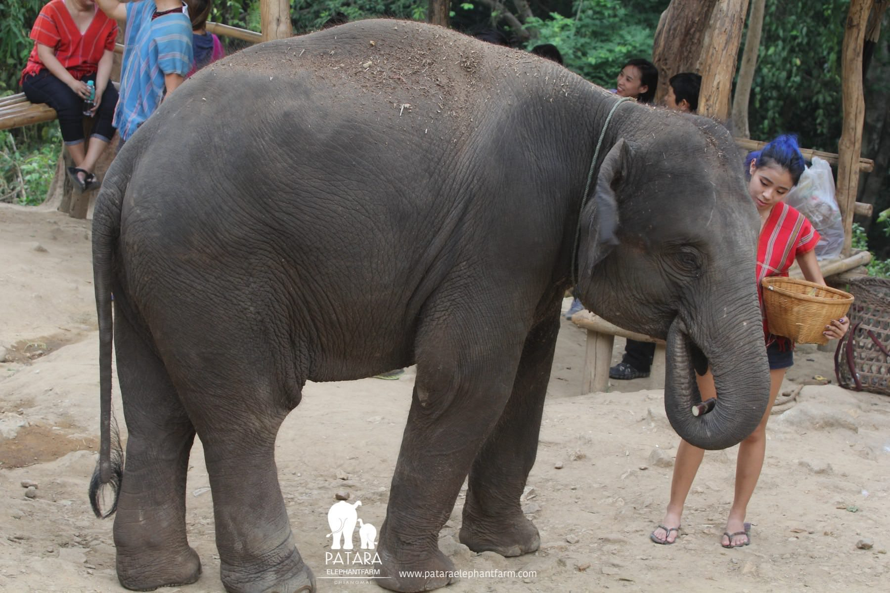 PataraElephantFarm-ChiangMai-Feed