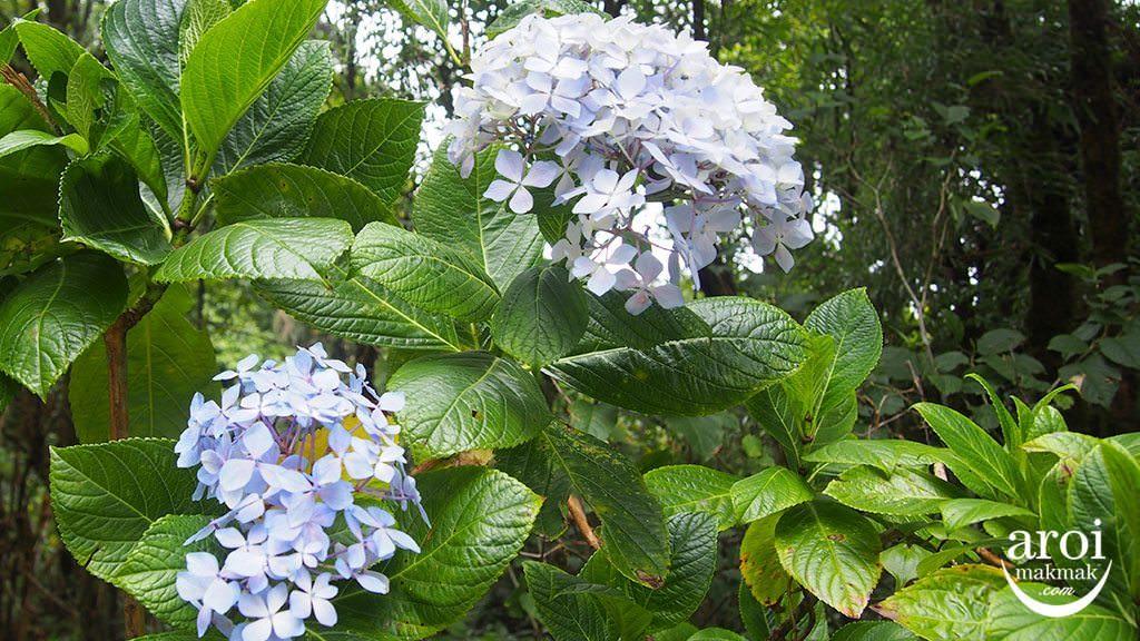doiinthanon_flowers