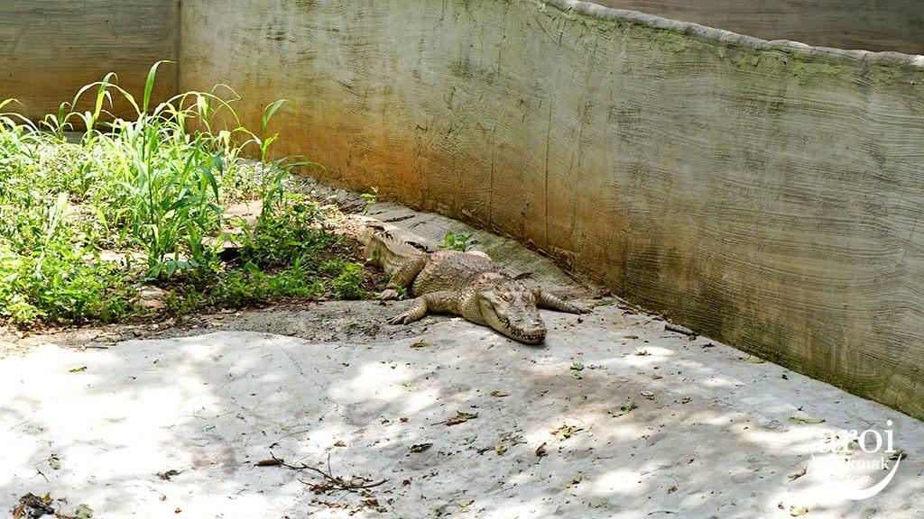 bonanzazoo_crocodile2