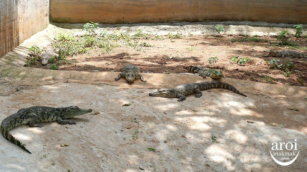 bonanzazoo_crocodiles