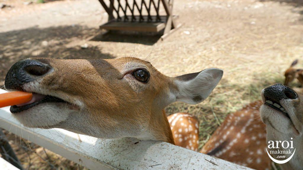 bonanzazoo_deer