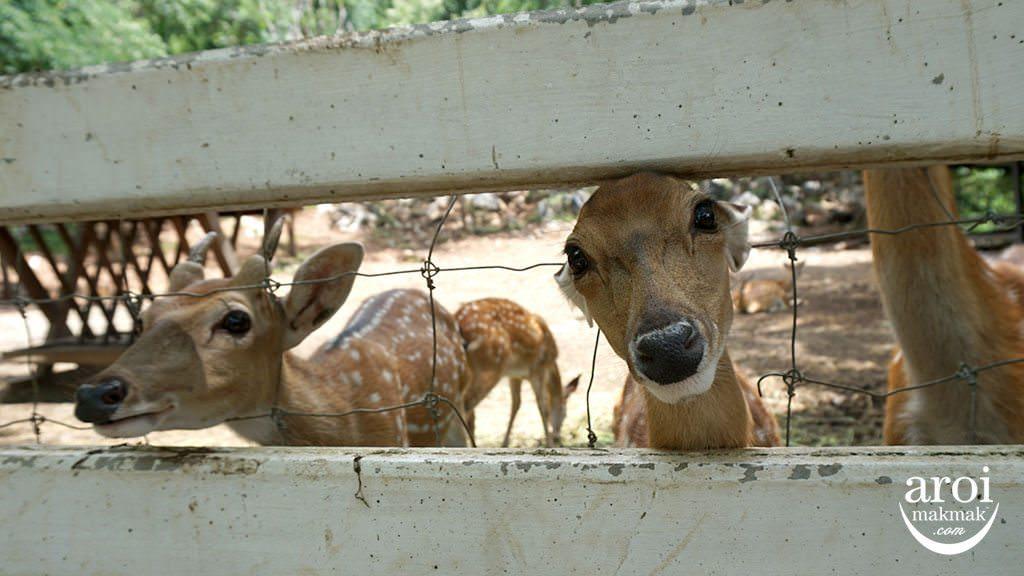 bonanzazoo_deers