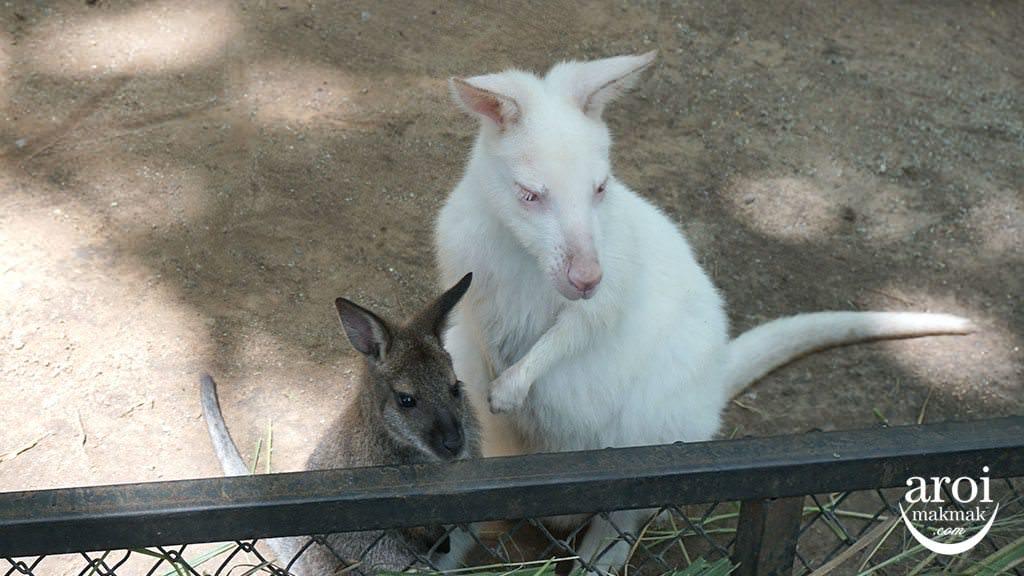 bonanzazoo_kangaroos