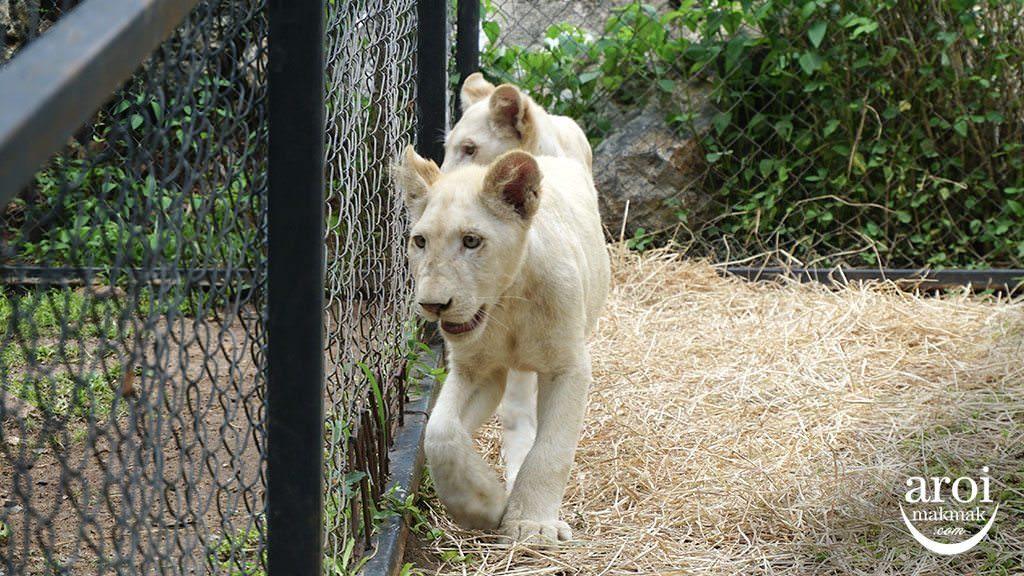 bonanzazoo_lions