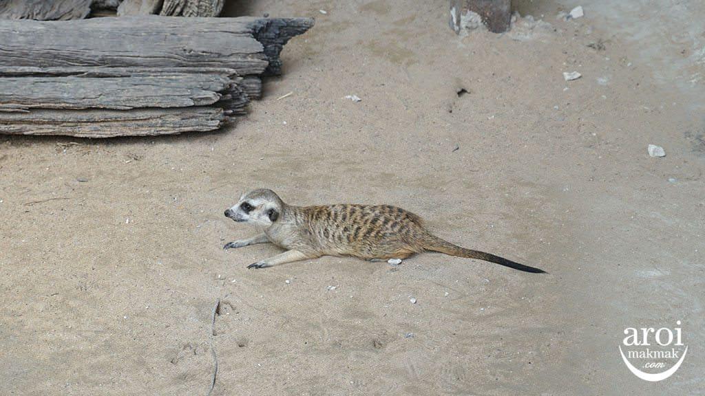 bonanzazoo_meerkat