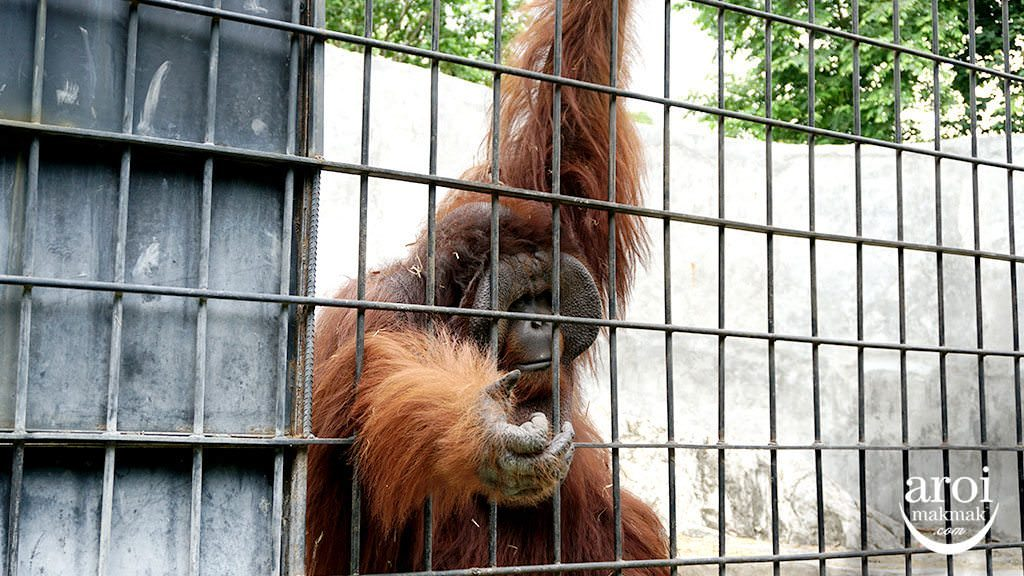 bonanzazoo_orangutan