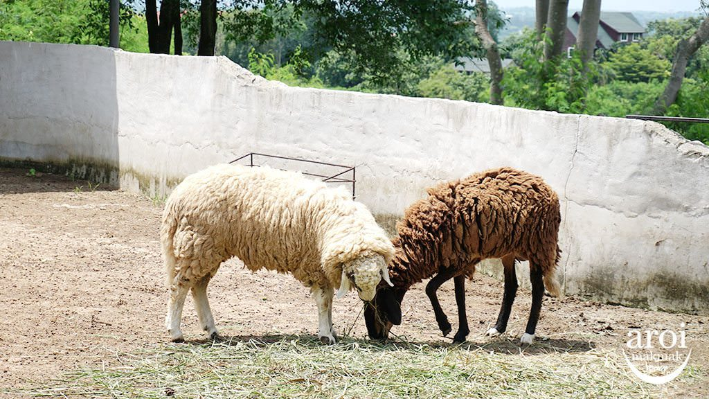bonanzazoo_sheep