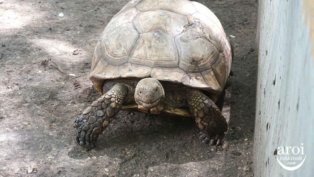 bonanzazoo_tortoise