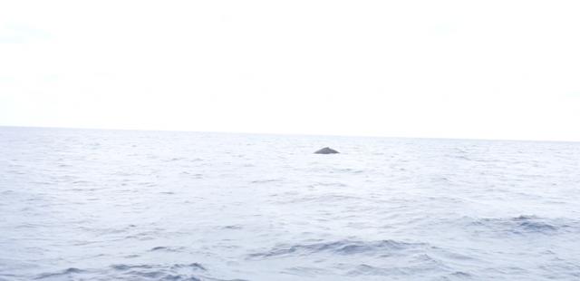 okinawa-whalewatching5