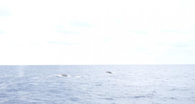 okinawa-whalewatching6