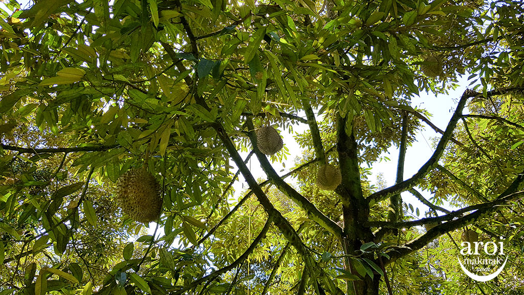 chumphon-durianfarm1