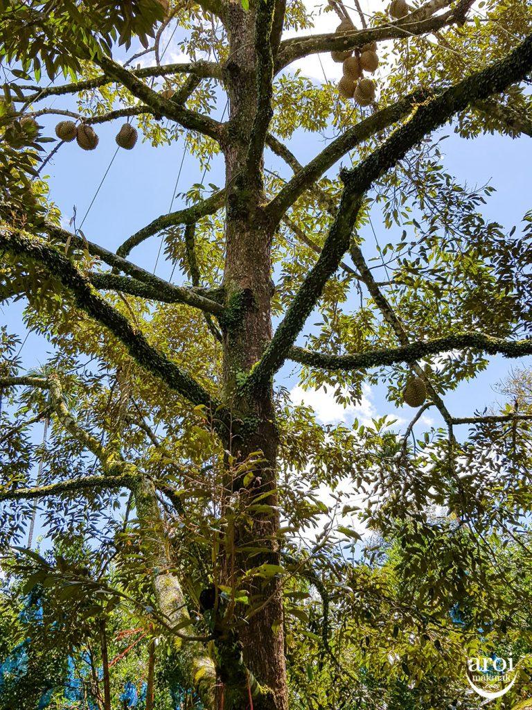 chumphon-durianfarm2