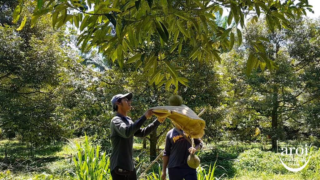 chumphon-durianfarm4