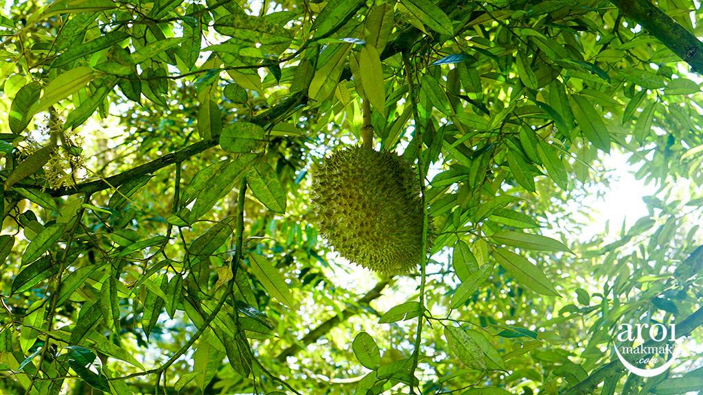chumphon-durianfarm5