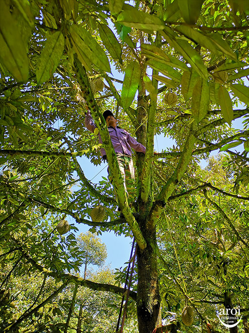 chumphon-durianfarm9